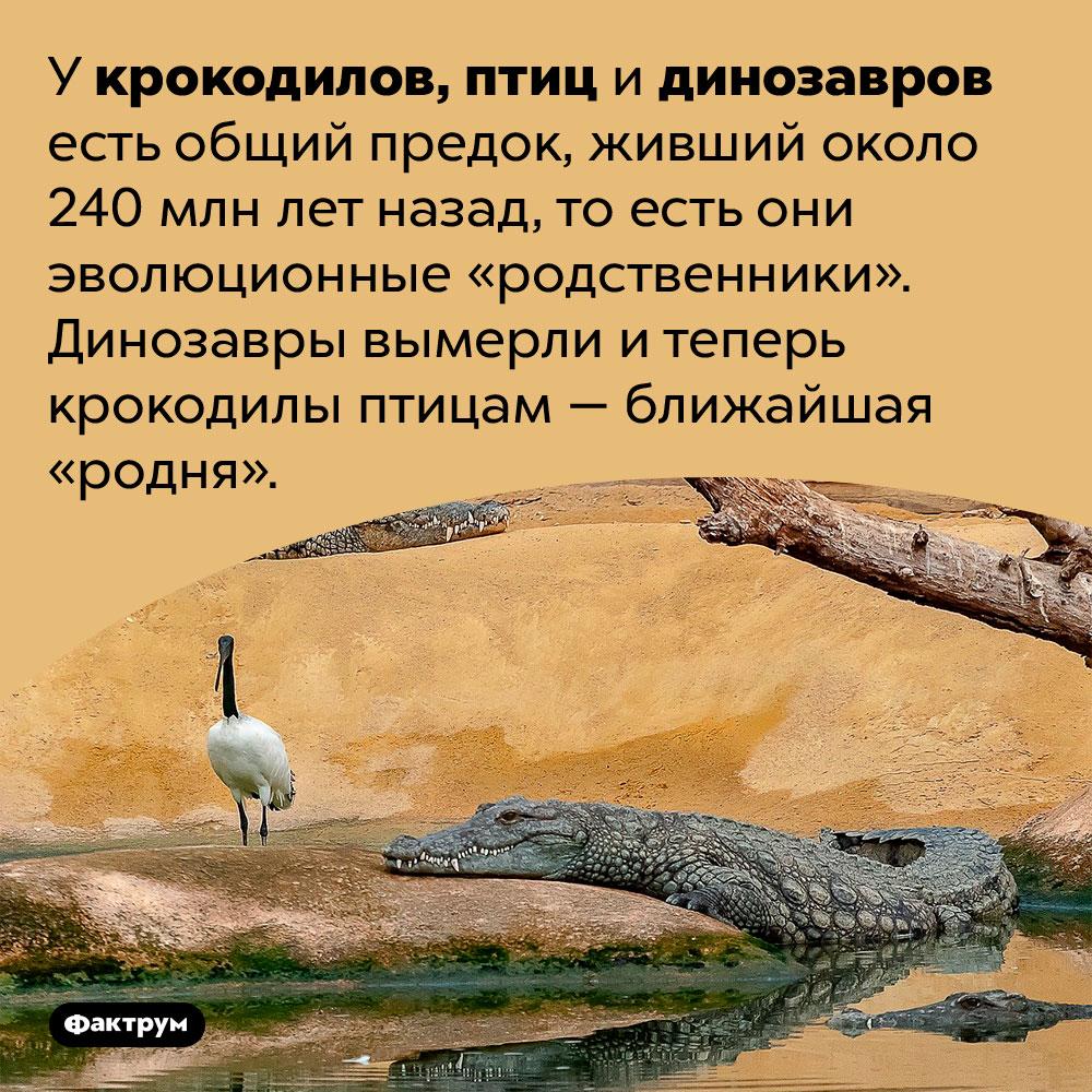 Крокодилы птицам — ближайшая «родня». У крокодилов, птиц и динозавров есть общий предок, живший около 240 млн лет назад, то есть они эволюционные «родственники». Динозавры вымерли и теперь крокодилы птицам — ближайшая «родня».