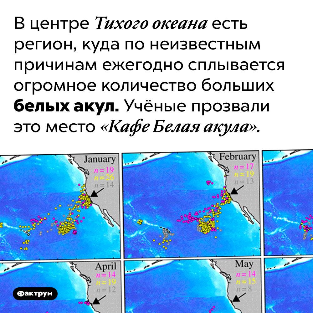 В центре Тихого океана есть «Кафе Белая акула». В центре Тихого океана есть регион, куда по неизвестным причинам ежегодно сплывается огромное количество больших белых акул. Учёные прозвали это место «Кафе Белая акула».