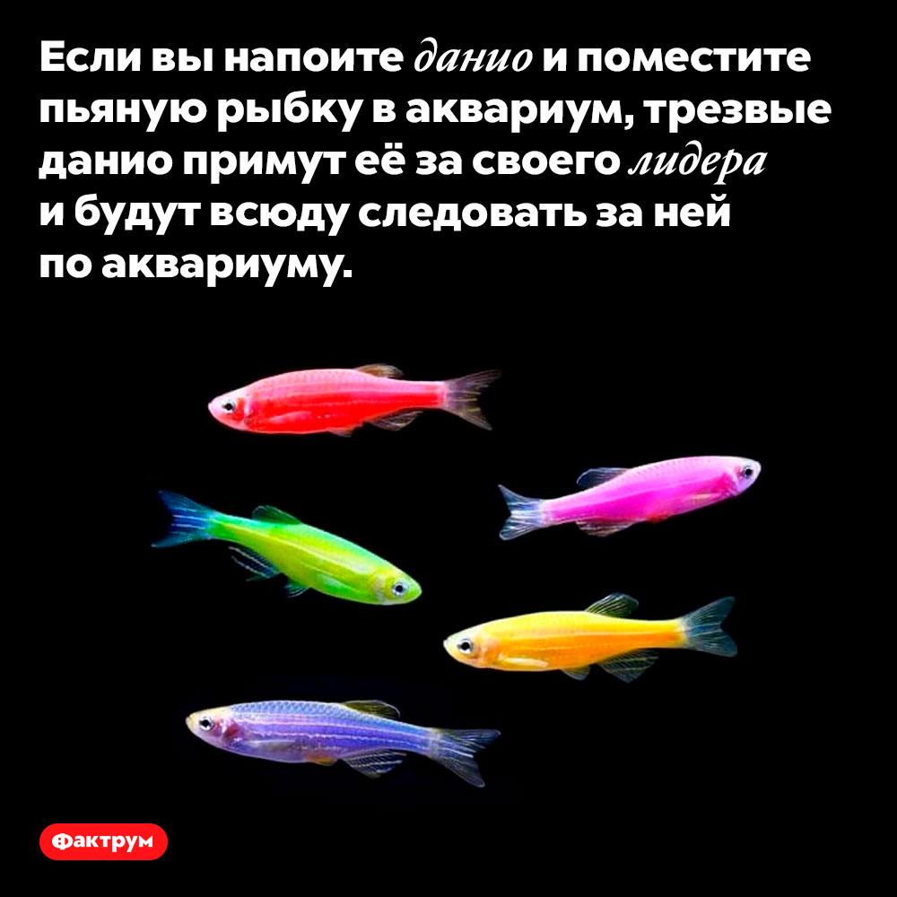 Пьяные рыбки данио лидируют встае. Если вы напоите данио и поместите пьяную рыбку в аквариум, трезвые данио примут её за своего лидера и будут всюду следовать за ней по аквариуму.