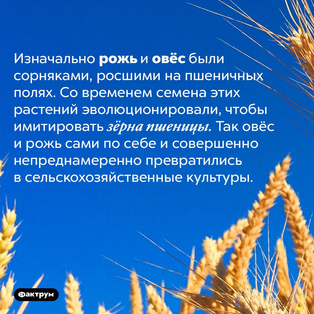 Рожь иовёс сами себя «окультурили». Изначально рожь и овёс были сорняками, росшими на пшеничных полях. Со временем семена этих растений эволюционировали, чтобы имитировать зёрна пшеницы. Так овёс и рожь сами по себе и совершенно непреднамеренно превратились в сельскохозяйственные культуры.