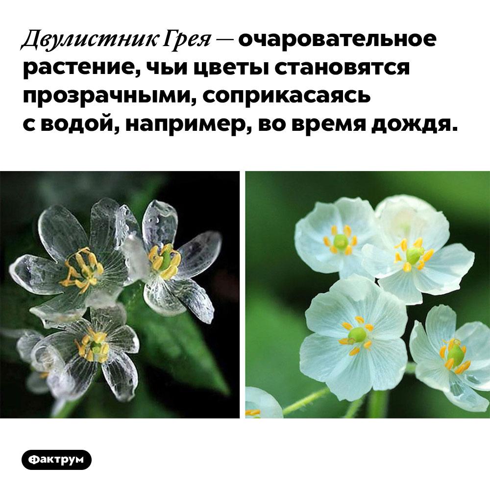 Цветок, который становится прозрачным под дождём. Двулистник Грея — очаровательное растение, чьи цветы становятся прозрачными, соприкасаясь с водой, например, во время дождя.