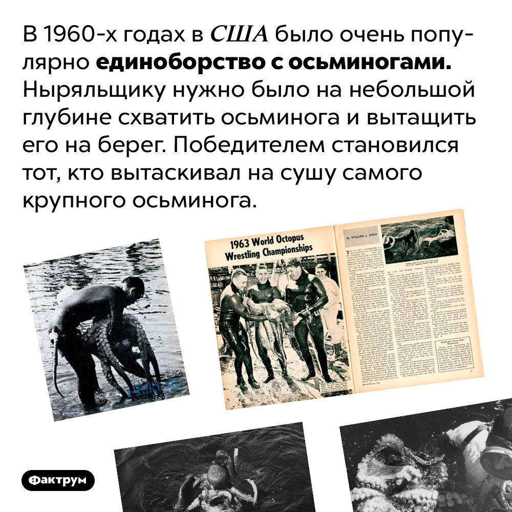 В1960-х годах вСША было популярно бороться сосьминогами. В 1960-х годах в США было очень популярно единоборство с осьминогами. Ныряльщику нужно было на небольшой глубине схватить осьминога и вытащить его на берег. Победителем становился тот, кто вытаскивал на сушу самого крупного осьминога.