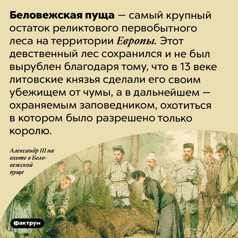 Беловежская пуща — самый большой реликтовый первобытный лес вЕвропе. Беловежская пуща — самый крупный остаток реликтового первобытного леса на территории Европы. Этот девственный лес сохранился и не был вырублен благодаря тому, что в 13 веке литовские князья сделали его своим убежищем от чумы, а в дальнейшем — охраняемым заповедником, охотиться в котором было разрешено только королю.