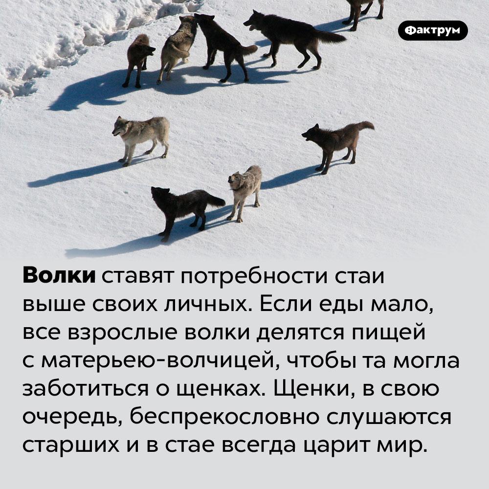 Волки живут дружно. Волки ставят потребности стаи выше своих личных. Если еды мало, все взрослые волки делятся пищей с матерьею-волчицей, чтобы та могла заботиться о щенках. Щенки, в свою очередь, беспрекословно слушаются старших и в стае всегда царит мир.