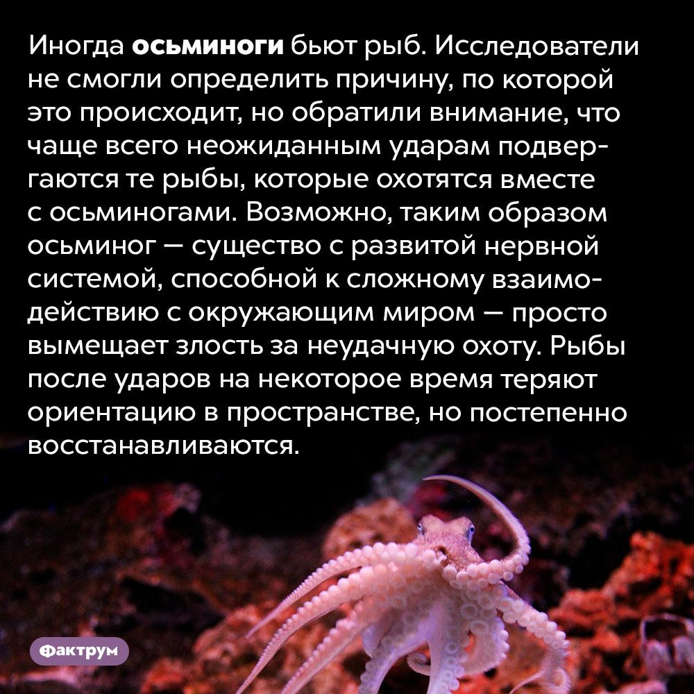 Осьминог может избить рыбу. Иногда осьминоги бьют рыб. Исследователи не смогли определить причину, по которой это происходит, но обратили внимание, что чаще всего неожиданным ударам подвергаются те рыбы, которые охотятся вместе с осьминогами. Возможно, таким образом осьминог — существо с развитой нервной системой, способной к сложному взаимодействию с окружающим миром — просто вымещает злость за неудачную охоту. Рыбы после ударов на некоторое время теряют ориентацию в пространстве, но постепенно восстанавливаются.