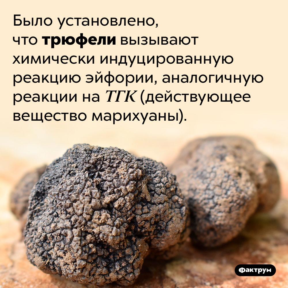 Трюфели вызывают «кайф». Было установлено, что трюфели вызывают химически индуцированную реакцию эйфории, аналогичную реакции на ТГК (действующее вещество марихуаны).
