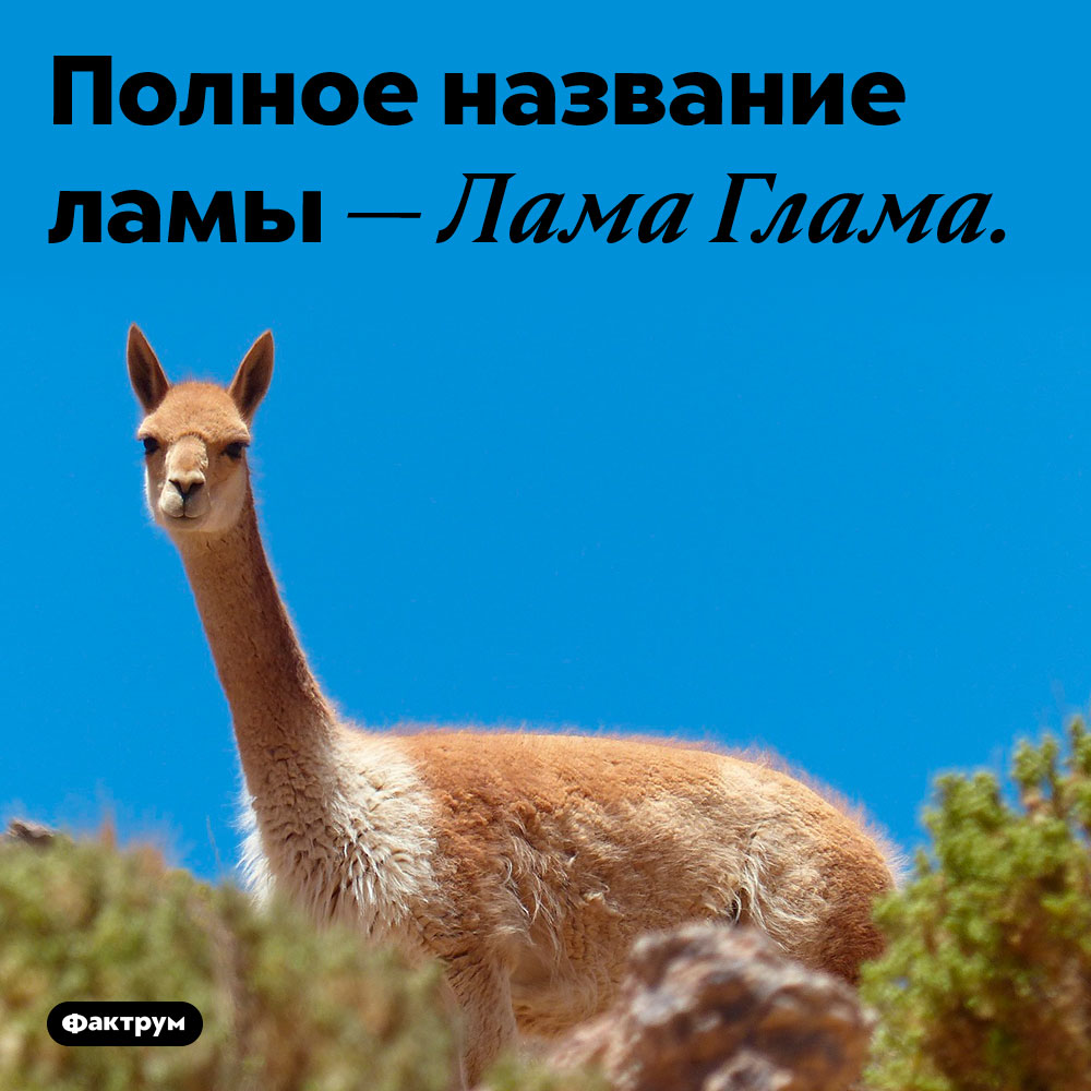 Научное название ламы. Полное название ламы — Лама Глама.
