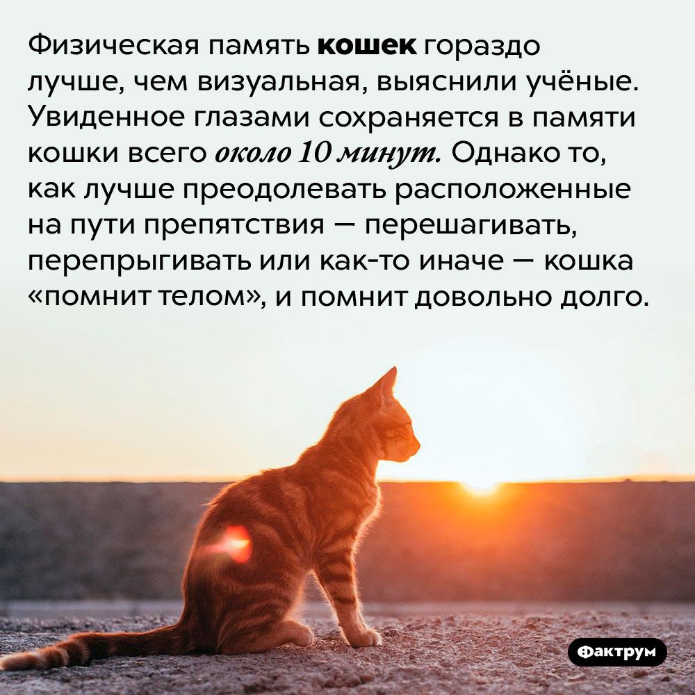 Зрительная память кошек составляет около 10минут, ноих физическая память работает намного дольше. Физическая память кошек гораздо лучше, чем визуальная, выяснили учёные. Увиденное глазами сохраняется в памяти кошки всего около 10 минут. Однако то, как лучше преодолевать расположенные на пути препятствия — перешагивать, перепрыгивать или как-то иначе — кошка «помнит телом», и помнит довольно долго.