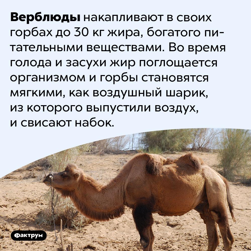Почему горбы верблюдов иногда свисают набок?. Верблюды накапливают в своих горбах до 30 кг жира, богатого питательными веществами. Во время голода и засухи жир поглощается организмом и горбы становятся мягкими, как воздушный шарик, из которого выпустили воздух, и свисают набок.