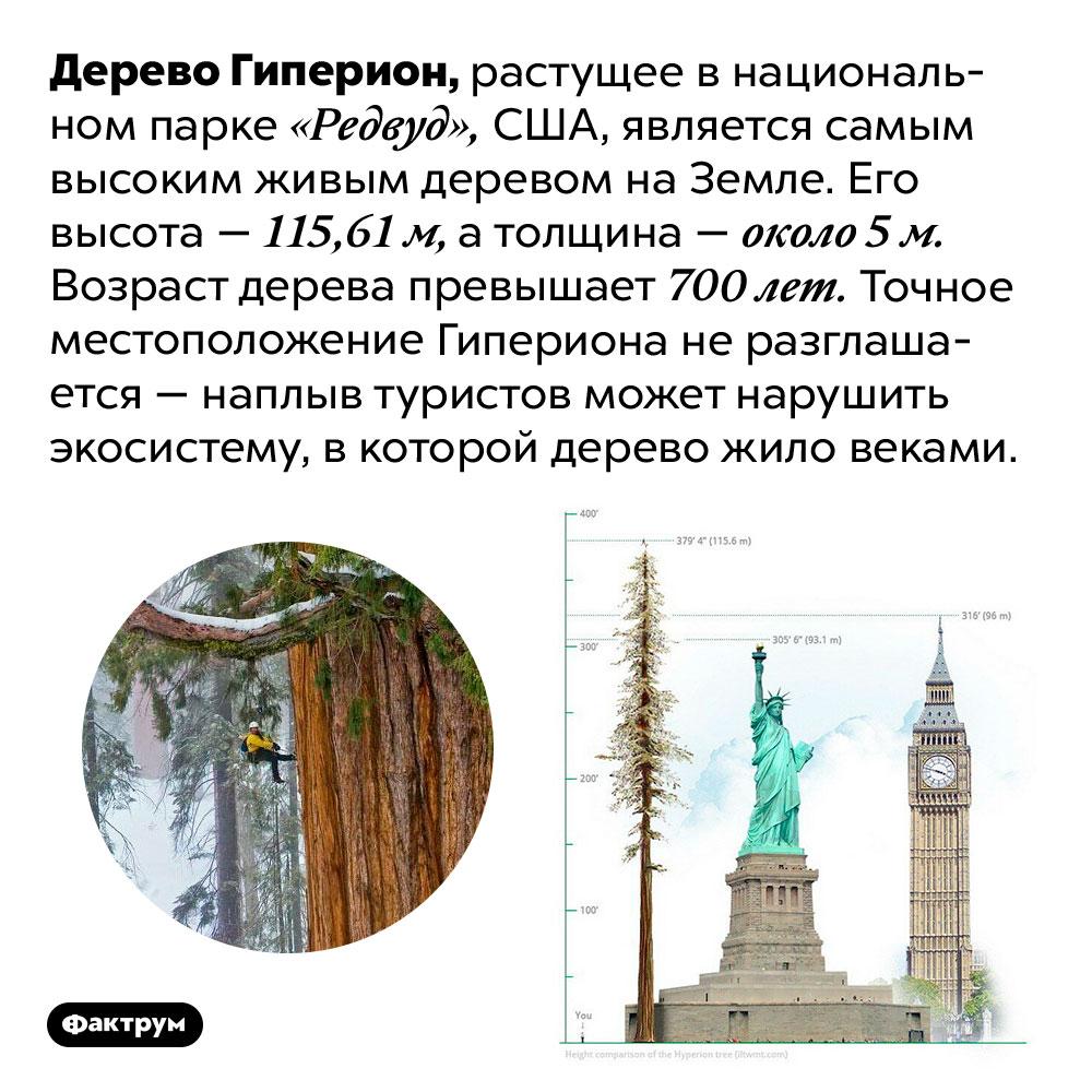 Где прячется самое высокое дерево вмире. Дерево Гиперион, растущее в национальном парке «Редвуд», США, является самым высоким живым деревом на Земле. Его высота — 115,61 м, а толщина — около 5 м. Возраст дерева превышает 700 лет. Точное местоположение Гипериона не разглашается — наплыв туристов может нарушить экосистему, в которой дерево жило веками.