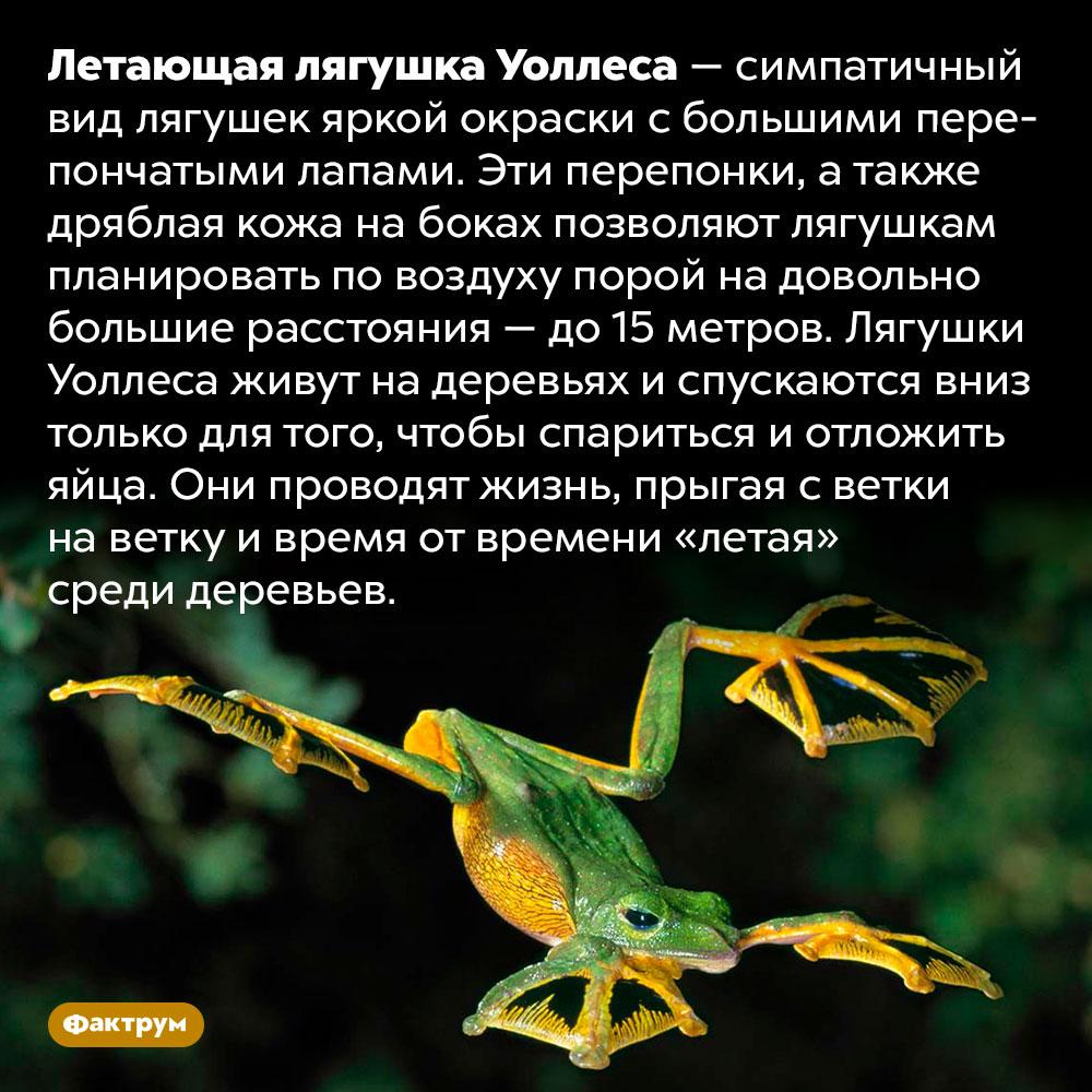 Лягушки Уоллеса летают среди деревьев. Летающая лягушка Уоллеса — симпатичный вид лягушек яркой окраски с большими перепончатыми лапами. Эти перепонки, а также дряблая кожа на боках позволяют лягушкам планировать по воздуху порой на довольно большие расстояния — до 15 метров. Лягушки Уоллеса живут на деревьях и спускаются вниз только для того, чтобы спариться и отложить яйца. Они проводят жизнь, прыгая с ветки на ветку и время от времени «летая» среди деревьев.