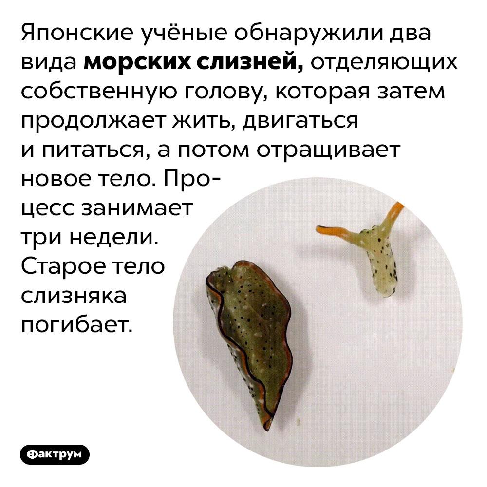 Слизняк, отбрасывающий голову. Японские учёные обнаружили два вида морских слизней, отделяющих собственную голову, которая затем продолжает жить, двигаться и питаться, а потом отращивает новое тело. Процесс занимает три недели. Старое тело слизняка погибает.