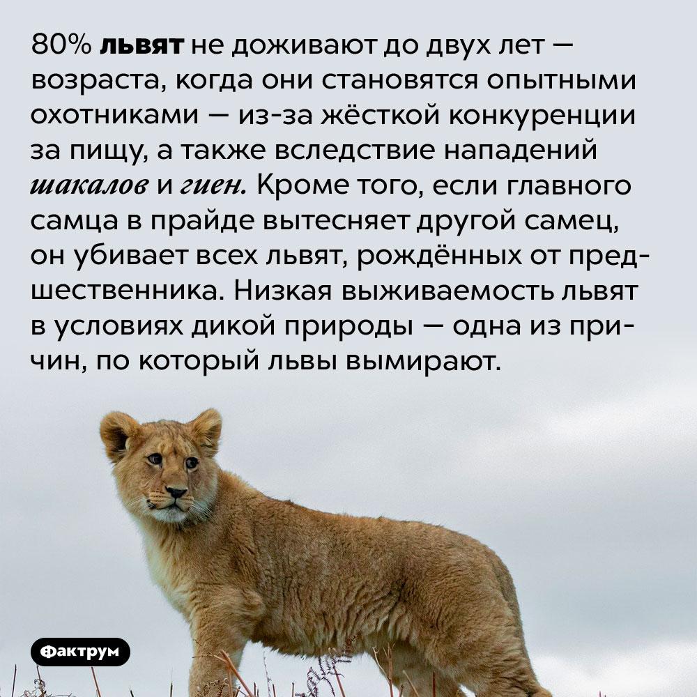 Только двое издесяти львят доживают довзрослого возраста. 80% львят не доживают до двух лет — возраста, когда они становятся опытными охотниками — из-за жёсткой конкуренции за пищу, а также вследствие нападений шакалов и гиен. Кроме того, если главного самца в прайде вытесняет другой самец, он убивает всех львят, рождённых от предшественника. Низкая выживаемость львят в условиях дикой природы — одна из причин, по который львы вымирают.