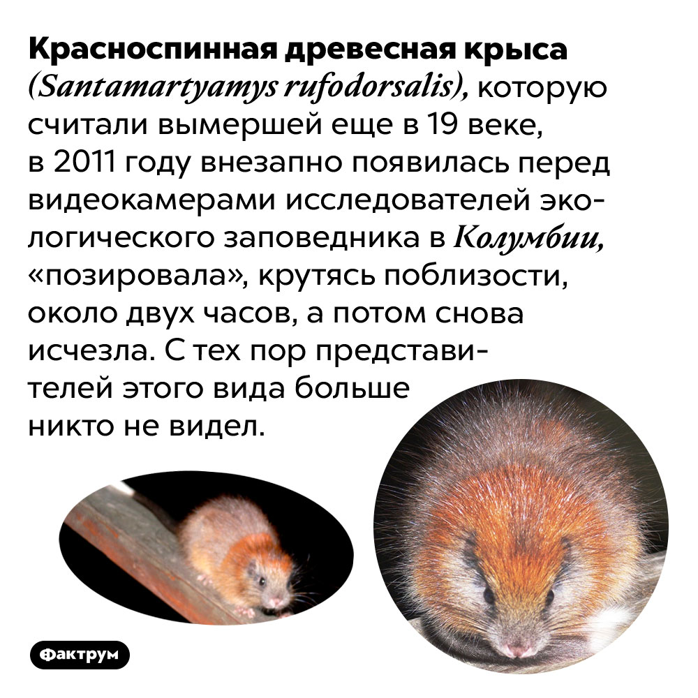 Неуловимая красноспинная древесная крыса. Красноспинная древесная крыса (Santamartyamys rufodorsalis), которую считали вымершей еще в 19 веке, в 2011 году внезапно появилась перед видеокамерами исследователей экологического заповедника в Колумбии, «позировала», крутясь поблизости, около двух часов, а потом снова исчезла. С тех пор представителей этого вида больше никто не видел.