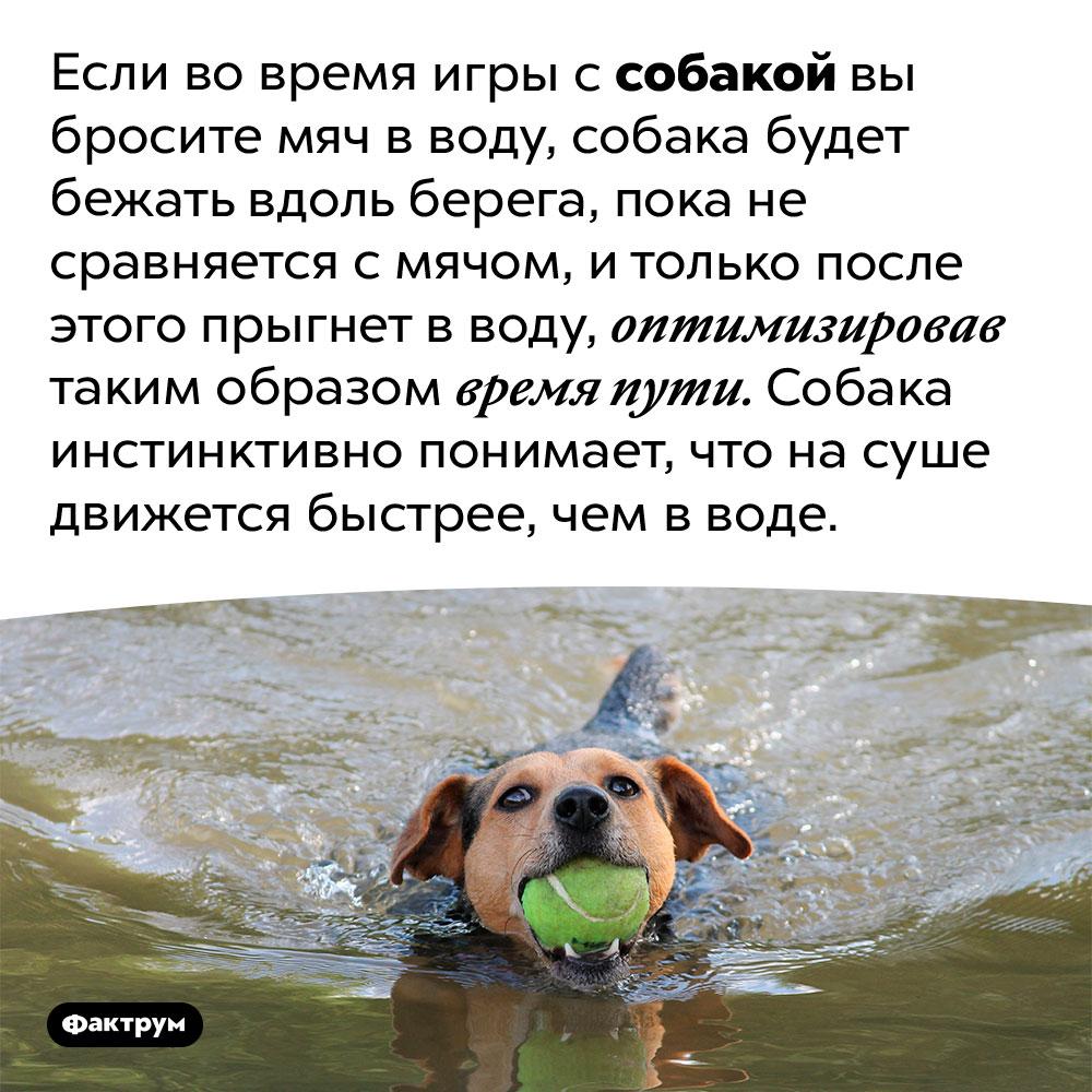 Собаки инстинктивно делают математический расчёт, чтобы минимизировать время доставания мяча изводы. Если во время игры с собакой вы бросите мяч в воду, собака будет бежать вдоль берега, пока не сравняется с мячом, и только после этого прыгнет в воду, оптимизировав таким образом время пути. Собака инстинктивно понимает, что на суше движется быстрее, чем в воде.