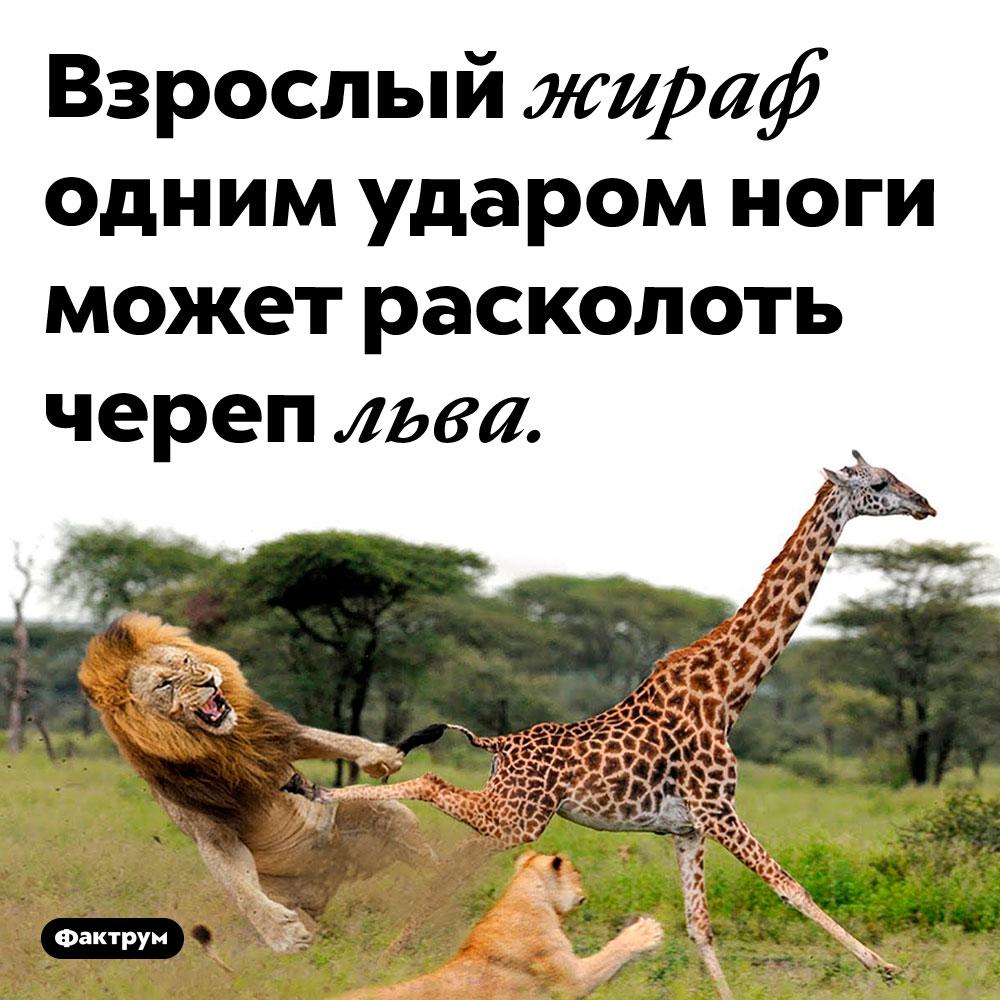 Жирафы очень сильны. Взрослый жираф одним ударом ноги может расколоть череп льва.