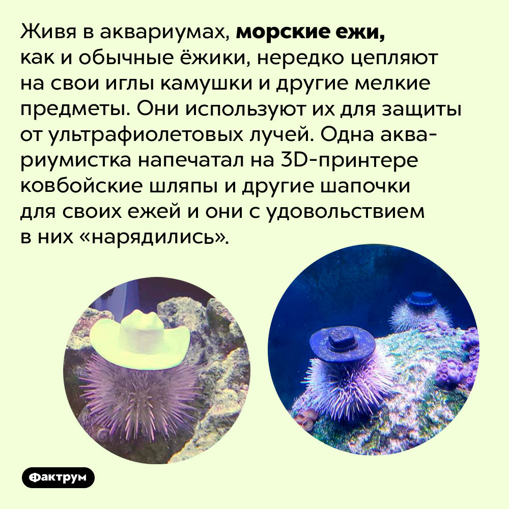 Морские ежи тоже могут цеплять предметы наиглы. Живя в аквариумах, морские ежи, как и обычные ёжики, нередко цепляют на свои иглы камушки и другие мелкие предметы. Они используют их для защиты от ультрафиолетовых лучей. Одна аквариумистка напечатала на 3D-принтере ковбойские шляпы и другие шапочки для своих ежей и они с удовольствием в них «нарядились».