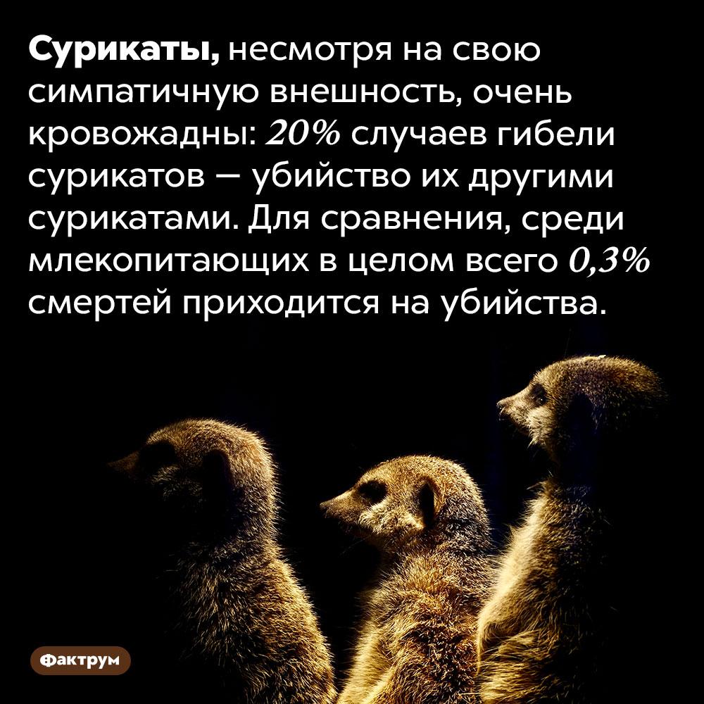 Сурикаты любят убивать. Сурикаты, несмотря на свою симпатичную внешность, очень кровожадны: 20% случаев гибели сурикатов — убийство их другими сурикатами. Для сравнения, среди млекопитающих в целом всего 0,3% смертей приходится на убийства.