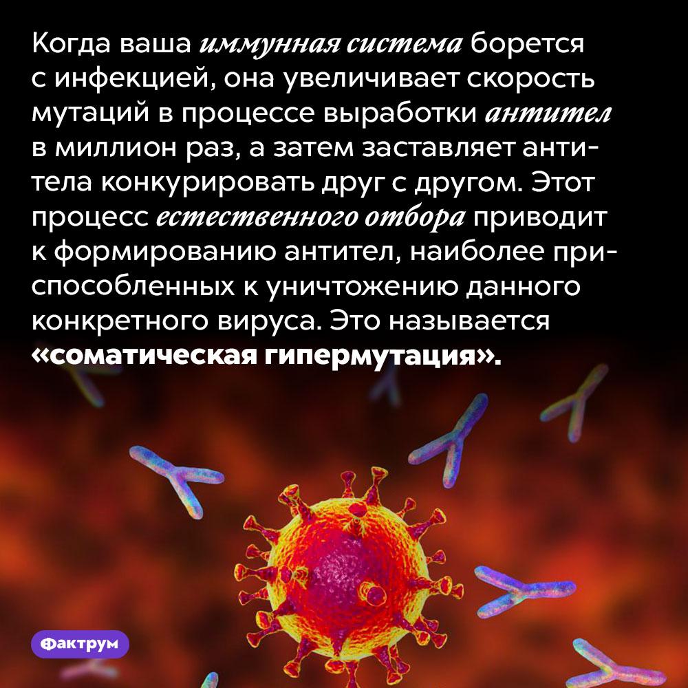 Антитела для борьбы синфекцией проходят естественный отбор взаражённом организме. Когда ваша иммунная система борется с инфекцией, она увеличивает скорость мутаций в процессе выработки антител в миллион раз, а затем заставляет антитела конкурировать друг с другом. Этот процесс естественного отбора приводит к формированию антител, наиболее приспособленных к уничтожению данного конкретного вируса. Это называется «соматическая гипермутация».