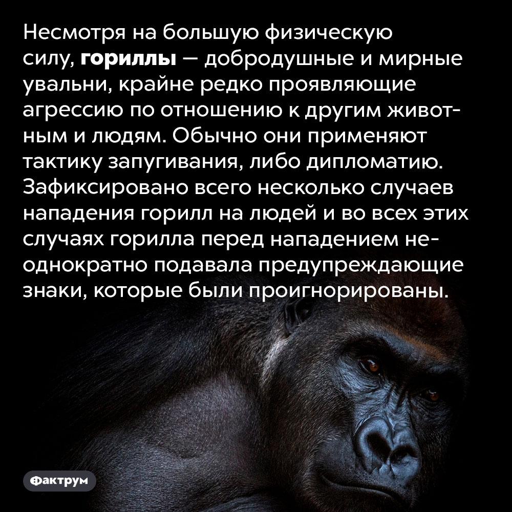 Гориллы — очень мирные животные. Несмотря на большую физическую силу, гориллы — добродушные и мирные увальни, крайне редко проявляющие агрессию по отношению к другим животным и людям. Обычно они применяют тактику запугивания, либо дипломатию. Зафиксировано всего несколько случаев нападения горилл на людей и во всех этих случаях горилла перед нападением неоднократно подавала предупреждающие знаки, которые были проигнорированы.