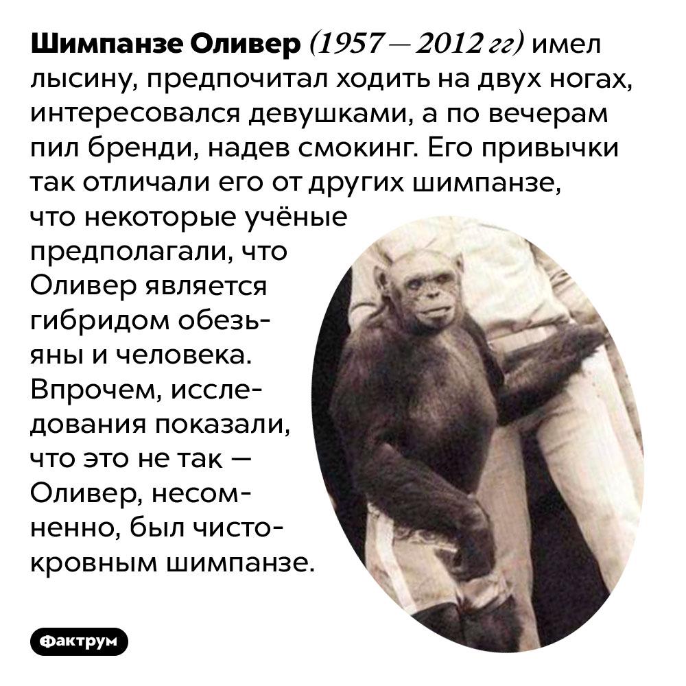 Шимпанзе Оливер имел человеческие привычки. Шимпанзе Оливер (1957 — 2012 гг) имел лысину, предпочитал ходить на двух ногах, интересовался девушками, а по вечерам пил бренди, надев смокинг. Его привычки так отличали его от других шимпанзе, что некоторые учёные предполагали, что Оливер является гибридом обезьяны и человека. Впрочем, исследования показали, что это не так — Оливер, несомненно, был чистокровным шимпанзе.