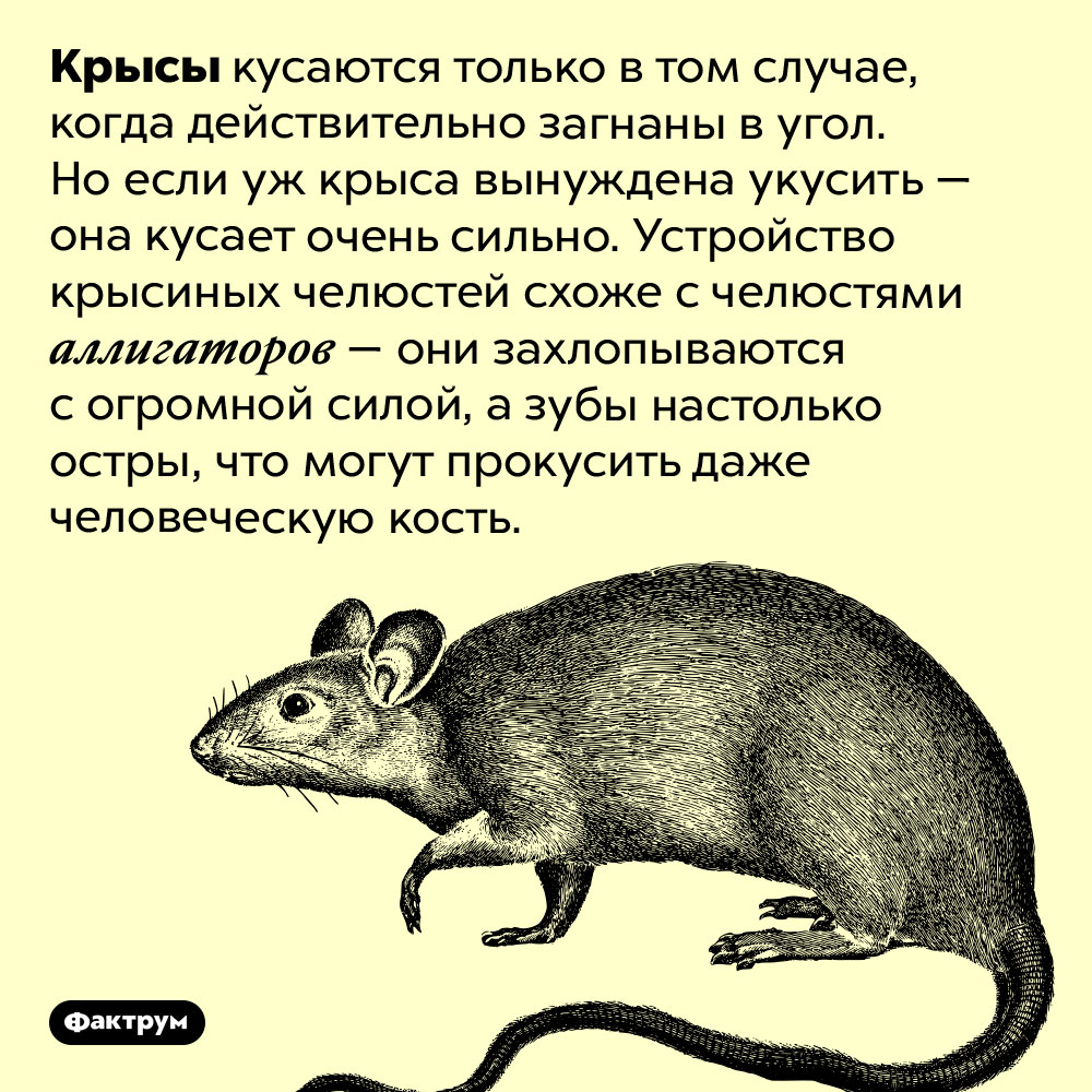 Крыса кусает как аллигатор. Крысы кусаются только в том случае, когда действительно загнаны в угол. Но если уж крыса вынуждена укусить — она кусает очень сильно. Устройство крысиных челюстей схоже с челюстями аллигаторов — они захлопываются с огромной силой, а зубы настолько остры, что могут прокусить даже человеческую кость.