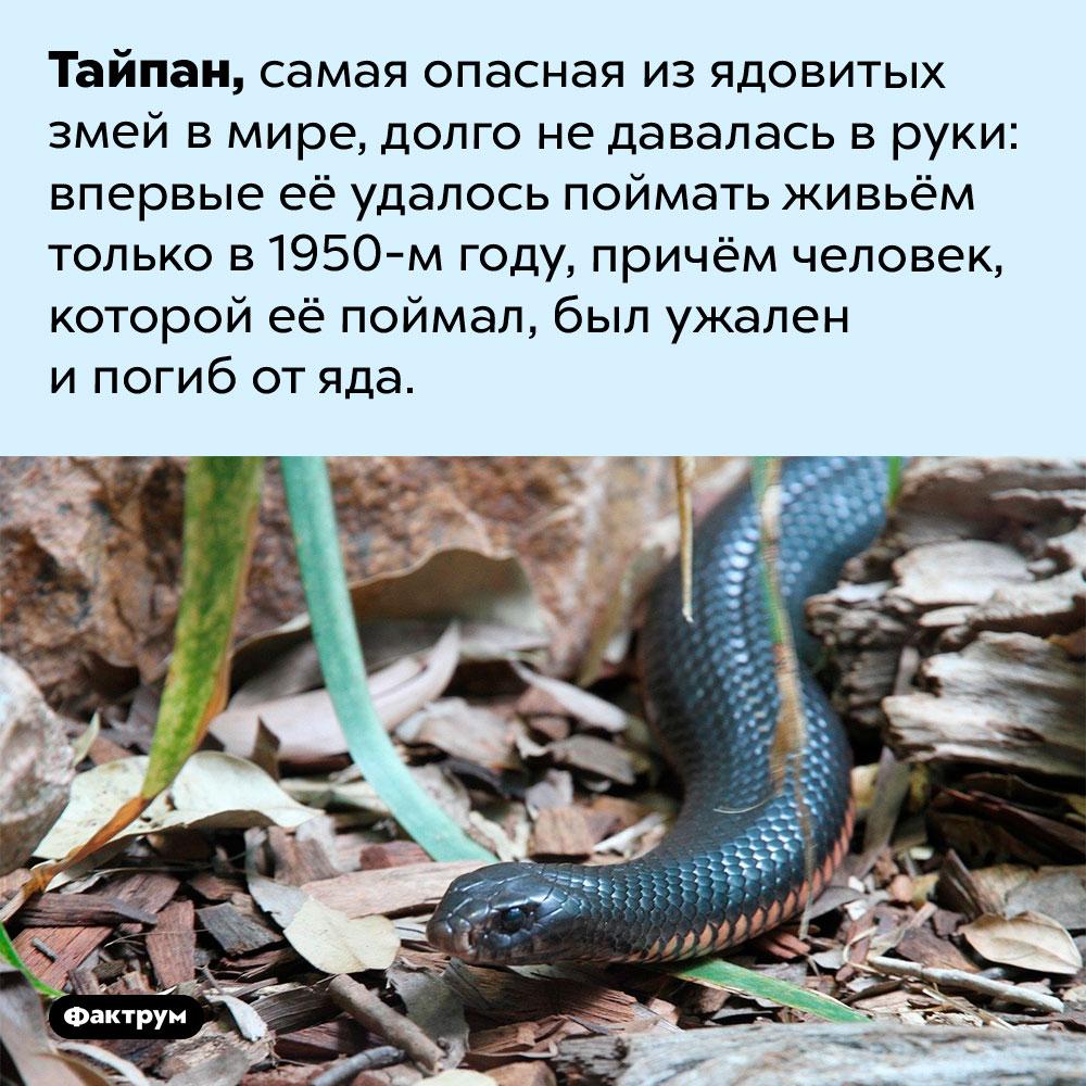 Тайпан — самая опасная ядовитая змея вмире. Тайпан, самая опасная из ядовитых змей в мире, долго не давалась в руки: впервые её удалось поймать живьём только в 1950-м году, причём человек, которой её поймал, был ужален и погиб от яда.