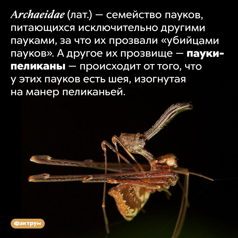 Существуют пауки сшеями как упеликанов. Archaeidae (лат.) — семейство пауков, питающихся исключительно другими пауками, за что их прозвали «убийцами пауков». А другое их прозвище — пауки-пеликаны — происходит от того, что у этих пауков есть шея, изогнутая на манер пеликаньей.