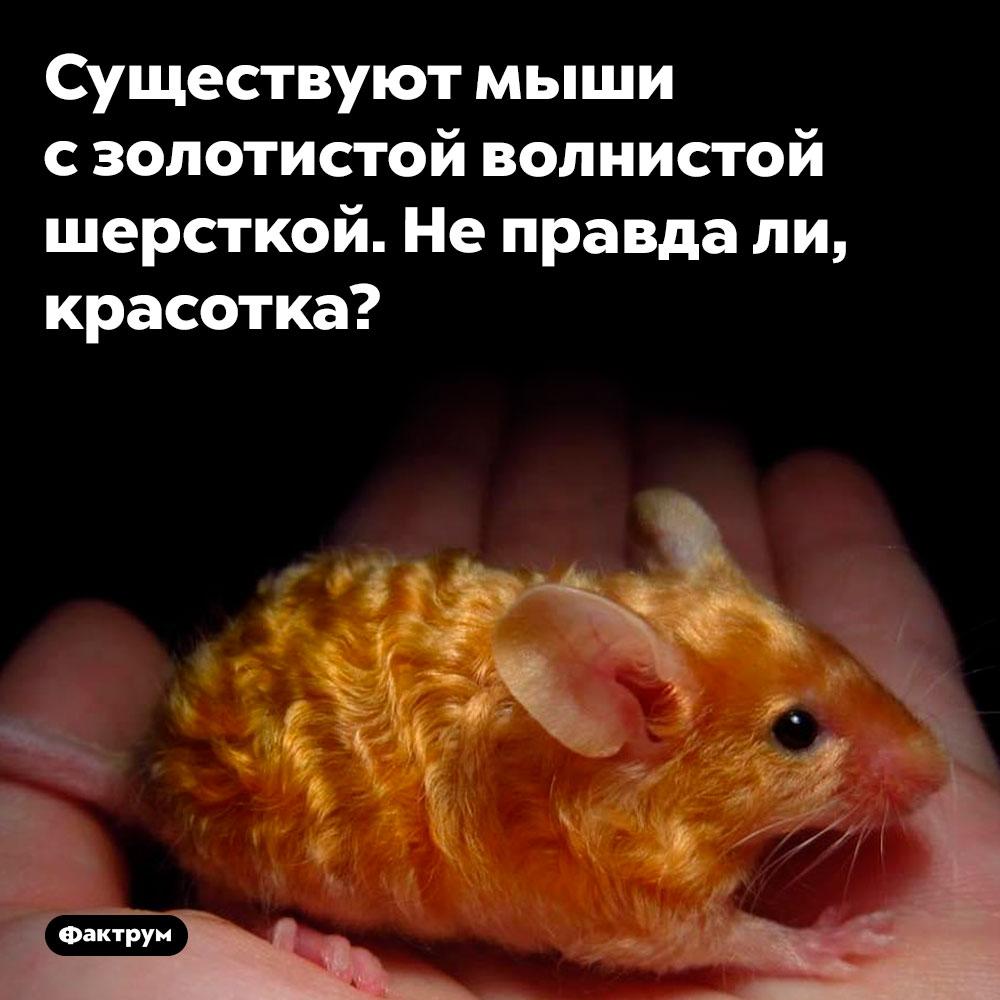 Золотая волнистая мышь. Существуют мыши с золотистой волнистой шерсткой. Не правда ли, красотка?