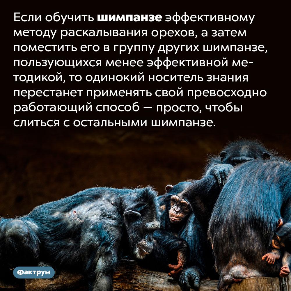 Для шимпанзе единство сколлективом важнее личного преимущества. Если обучить шимпанзе эффективному методу раскалывания орехов, а затем поместить его в группу других шимпанзе, пользующихся менее эффективной методикой, то одинокий носитель знания перестанет применять свой превосходно работающий способ — просто, чтобы слиться с остальными шимпанзе.
