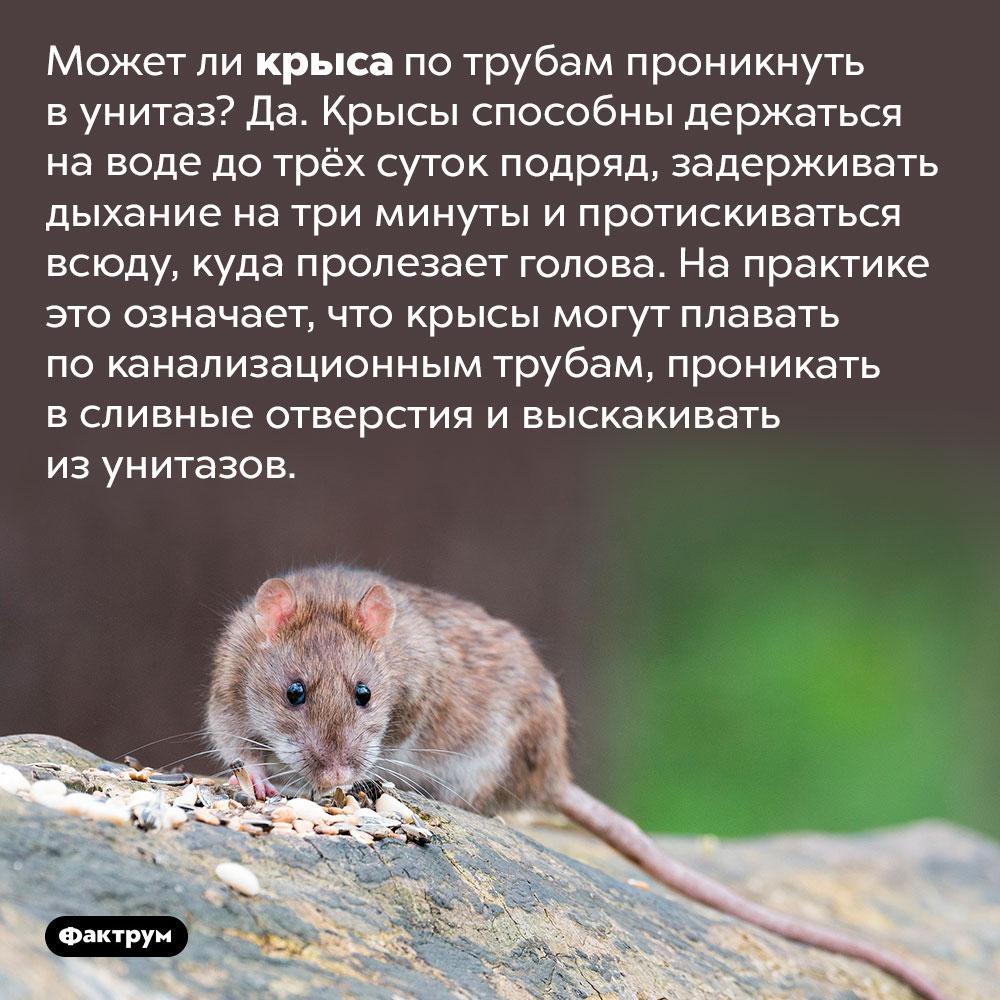 Может ли крыса проникнуть вунитаз. Может ли крыса по трубам проникнуть в унитаз? Да. Крысы способны держаться на воде до трёх суток подряд, задерживать дыхание на три минуты и протискиваться всюду, куда пролезает голова. На практике это означает, что крысы могут плавать по канализационным трубам, проникать в сливные отверстия и выскакивать из унитазов.