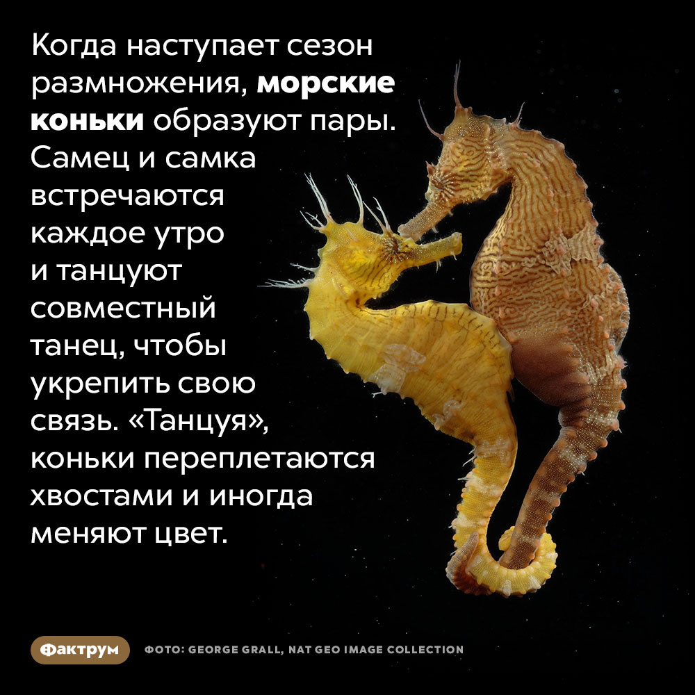 Морские коньки каждое утро танцуют сосвоей «половинкой». Когда наступает сезон размножения, морские коньки образуют пары. Самец и самка встречаются каждое утро и танцуют совместный танец, чтобы укрепить свою связь. «Танцуя», коньки переплетаются хвостами и иногда меняют цвет.
