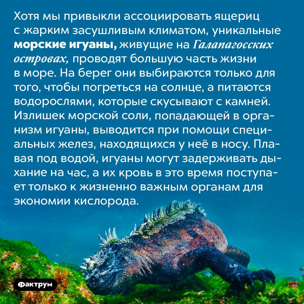 Удивительные морские игуаны. Хотя мы привыкли ассоциировать ящериц с жарким засушливым климатом, уникальные морские игуаны, живущие на Галапагосских островах, проводят большую часть жизни в море. На берег они выбираются только для того, чтобы погреться на солнце, а питаются водорослями, которые скусывают с камней. Излишек морской соли, попадающей в организм игуаны, выводится при помощи специальных желез, находящихся у неё в носу. Плавая под водой, игуаны могут задерживать дыхание на час, а их кровь в этом время поступает только к жизненно важным органам для экономии кислорода.