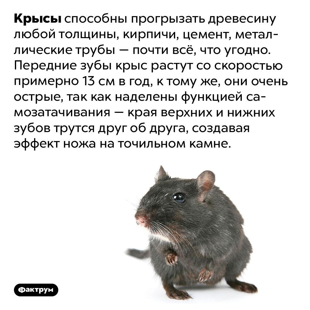 У крыс самозатачивающиеся зубы. Крысы способны прогрызать древесину любой толщины, кирпичи, цемент, металлические трубы — почти всё, что угодно. Передние зубы крыс растут со скоростью примерно 13 см в год, к тому же, они очень острые, так как наделены функцией самозатачивания — края верхних и нижних зубов трутся друг об друга, создавая эффект ножа на точильном камне.