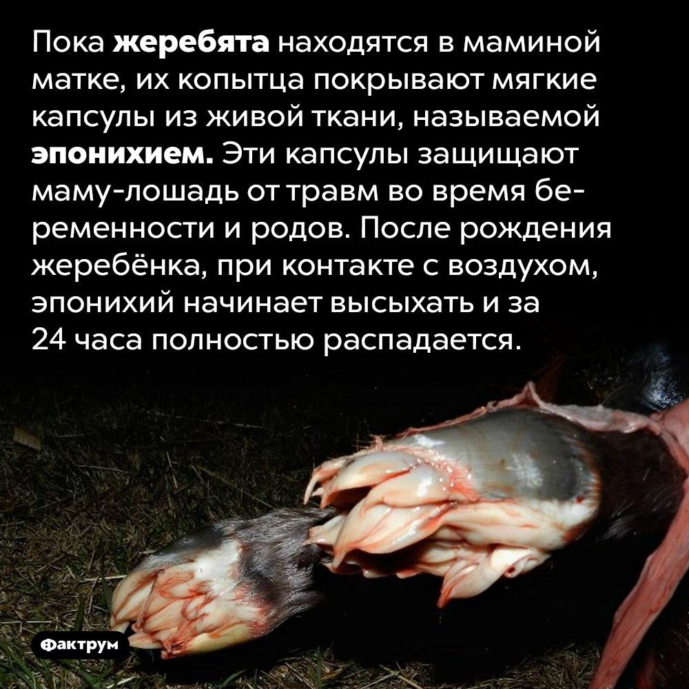 Находясь вмаминой матке, жеребята одеты в«носочки». Пока жеребята находятся в маминой матке, их копытца покрывают мягкие капсулы из живой ткани, называемой эпонихием. Эти капсулы защищают маму-лошадь от травм во время беременности и родов. После рождения жеребёнка, при контакте с воздухом, эпонихий начинает высыхать и за 24 часа полностью распадается.