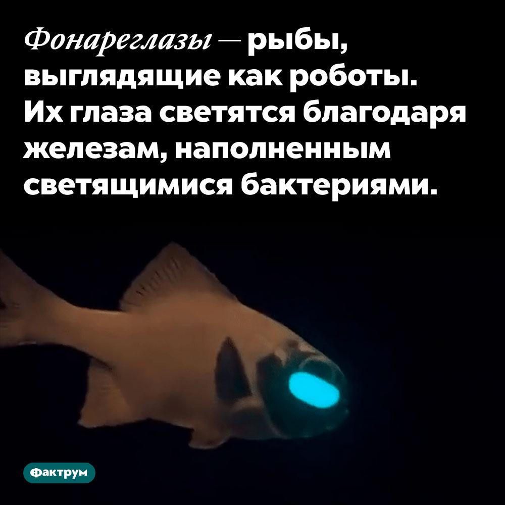 Уфонареглазов настоящие фонари подглазами. Фонареглазы — рыбы, выглядящие как роботы. Их глаза светятся благодаря железам, наполненным светящимися бактериями.