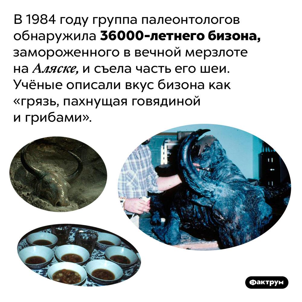 Палеонтологи попробовали 36000-летнего бизона. В 1984 году группа палеонтологов обнаружила 36000-летнего бизона, замороженного в вечной мерзлоте на Аляске, и съела часть его шеи. Учёные описали вкус бизона как «грязь, пахнущая говядиной и грибами».