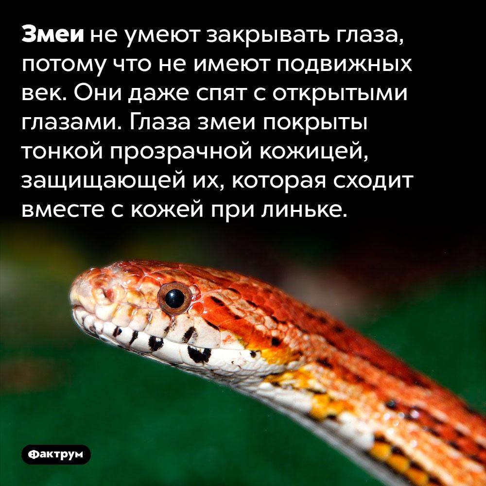 Змеи спят соткрытыми глазами. Змеи не умеют закрывать глаза, потому что не имеют подвижных век. Они даже спят с открытыми глазами. Глаза змеи покрыты тонкой прозрачной кожицей, защищающей их, которая сходит вместе с кожей при линьке.