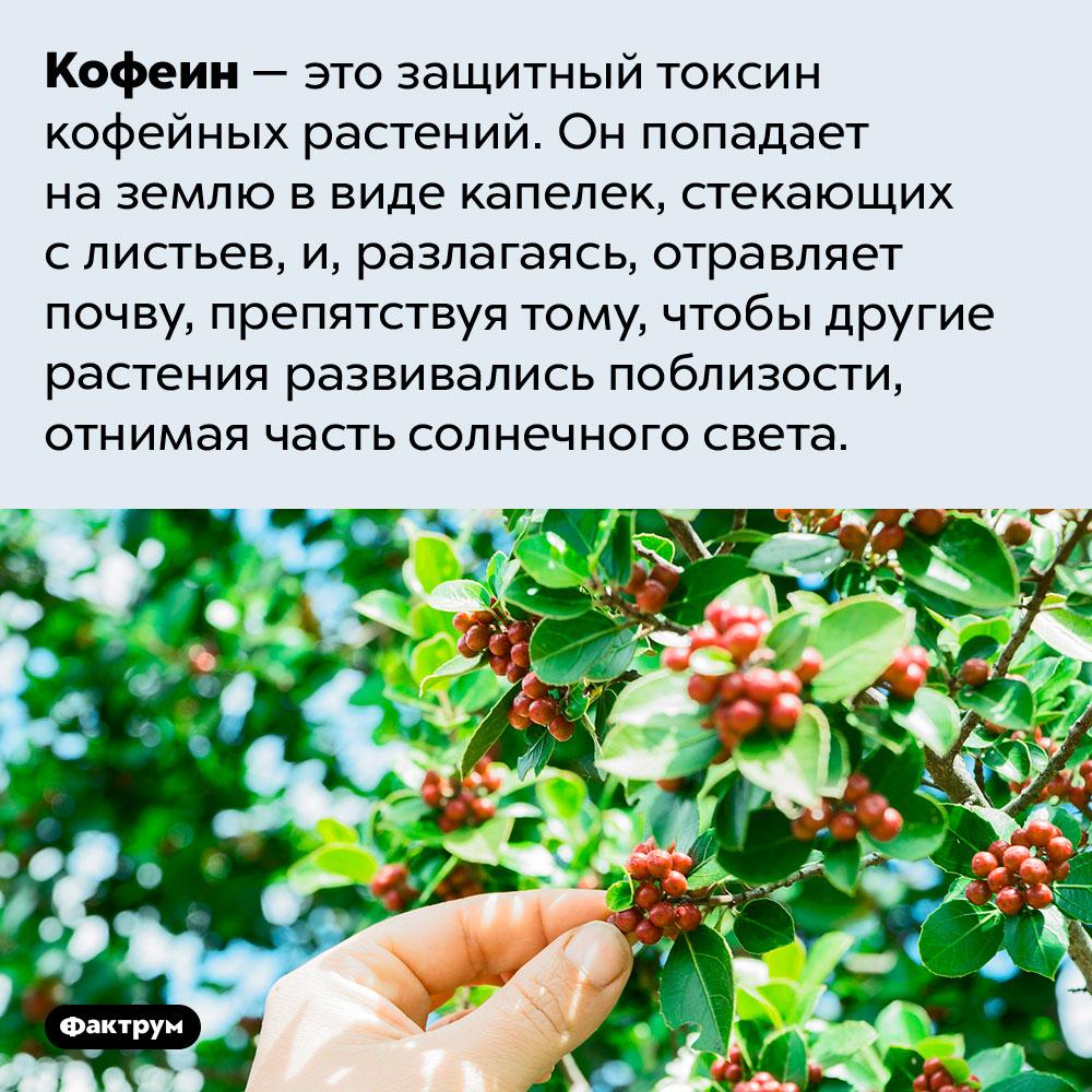 Кофеин отравляет почву вокруг кофейных растений. Кофеин — это защитный токсин кофейных растений. Он попадает на землю в виде капелек, стекающих с листьев, и, разлагаясь, отравляет почву, препятствуя тому, чтобы другие растения развивались поблизости, отнимая часть солнечного света.
