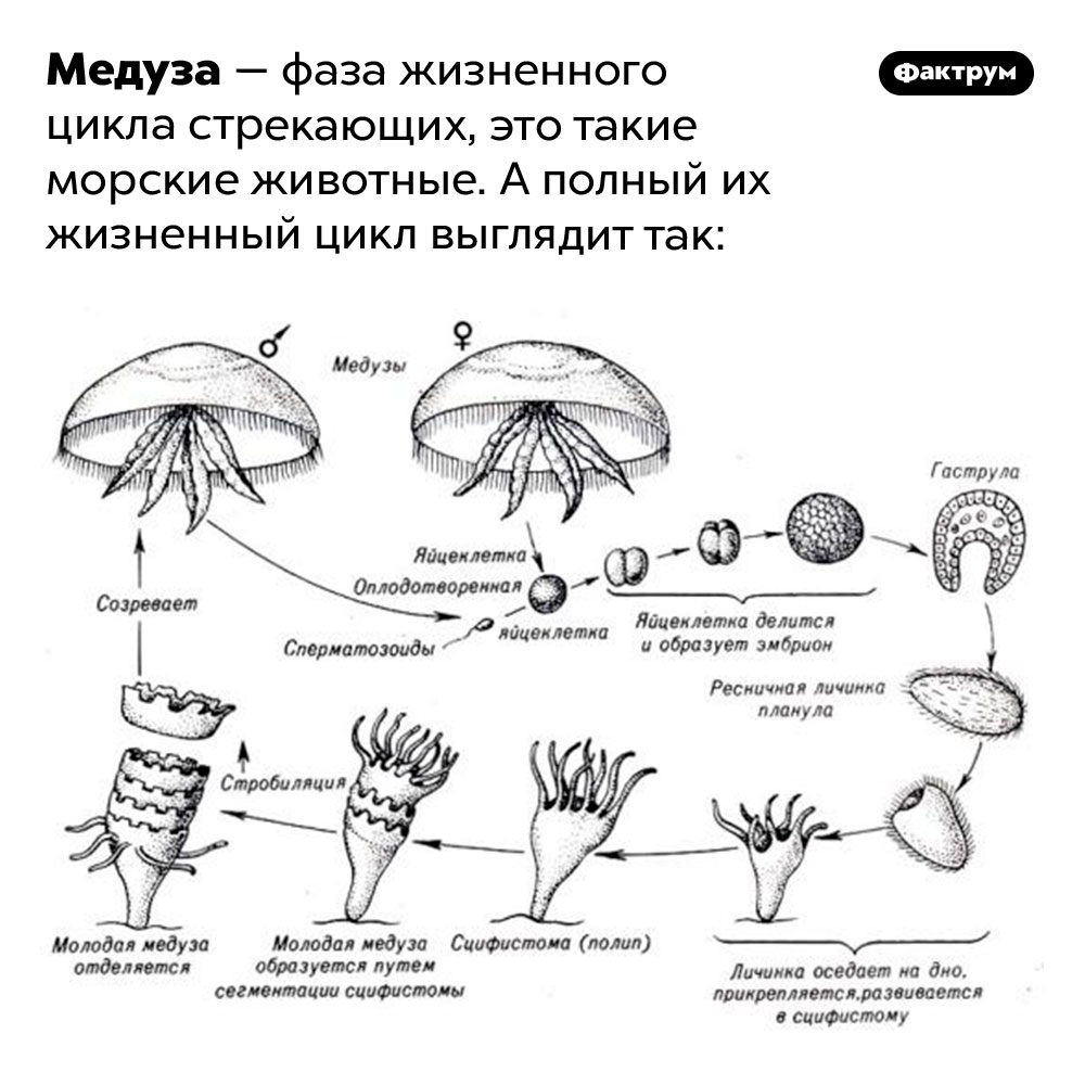 Что такое медуза?. Медуза — фаза жизненного цикла стрекающих, это такие морские животные. А полный их жизненный цикл выглядит так.