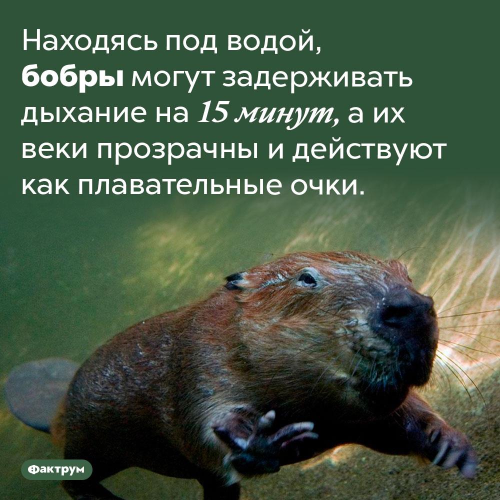Бобры — уникальные пловцы. Находясь под водой, бобры могут задерживать дыхание на 15 минут, а их веки прозрачны и действуют как плавательные очки.