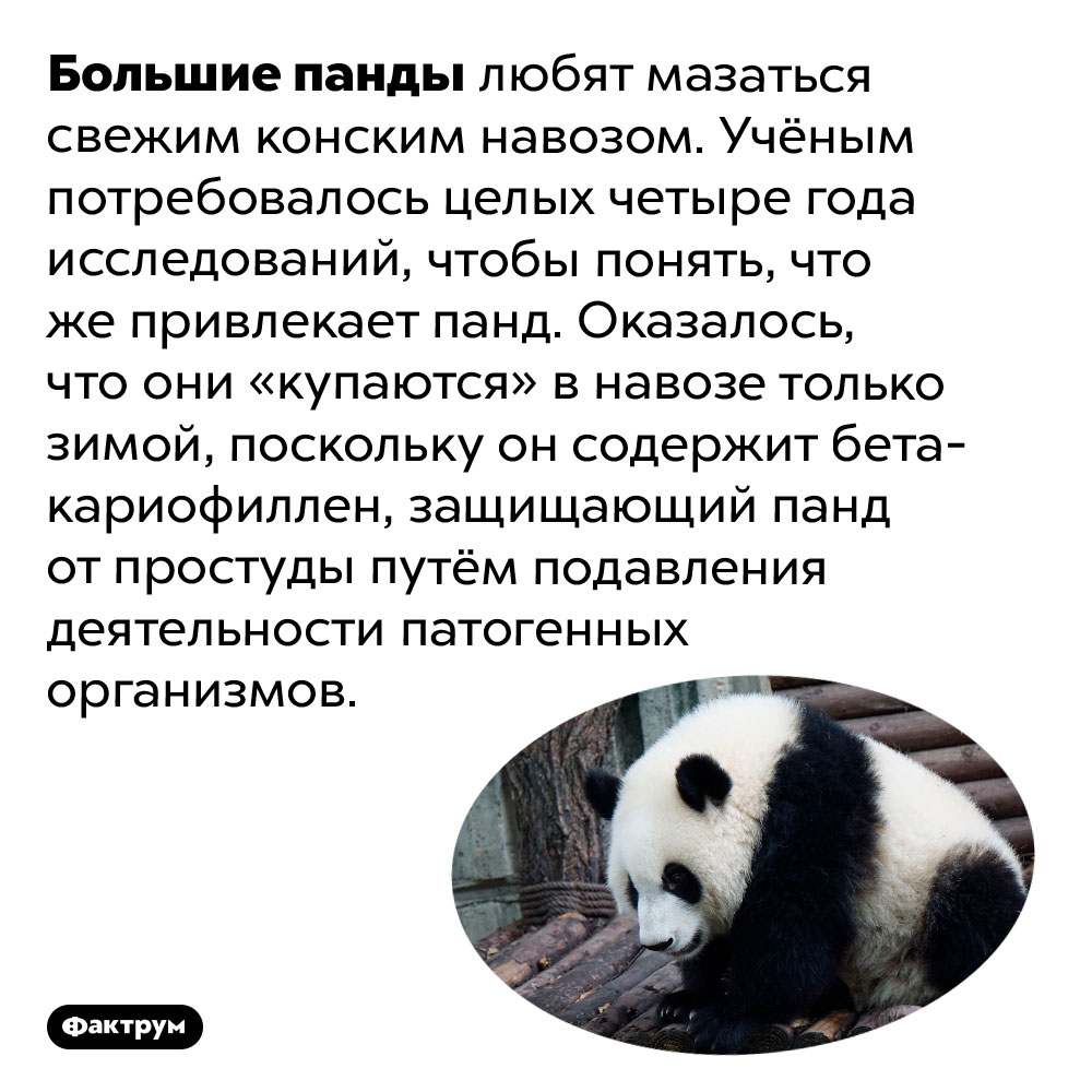 Панды любят купаться вконском навозе. Большие панды любят мазаться свежим конским навозом. Учёным потребовалось целых четыре года исследований, чтобы понять, что же привлекает панд. Оказалось, что они «купаются» в навозе только зимой, поскольку он содержит бета-кариофиллен, защищающий панд от простуды путём подавления деятельности патогенных организмов.