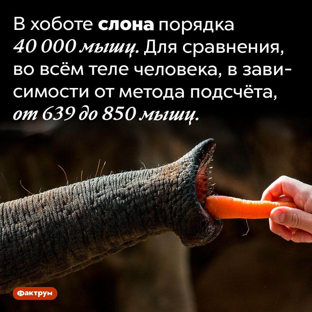 Сколько мышц вхоботе услона?. В хоботе слона порядка 40 000 мышц. Для сравнения, во всём теле человека, в зависимости от метода подсчёта, от 639 до 850 мышц.