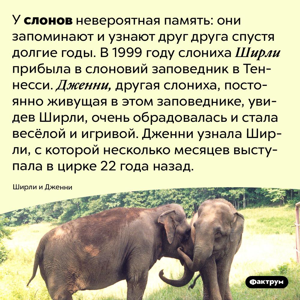 Слоны запоминают друг друга надолгие годы. У слонов невероятная память: они запоминают и узнают друг друга спустя долгие годы. В 1999 году слониха Ширли прибыла в слоновий заповедник в Теннесси. Дженни, другая слониха, постоянно живущая в этом заповеднике, увидев Ширли, очень обрадовалась и стала весёлой и игривой. Дженни узнала Ширли, с которой несколько месяцев выступала в цирке 22 года назад.