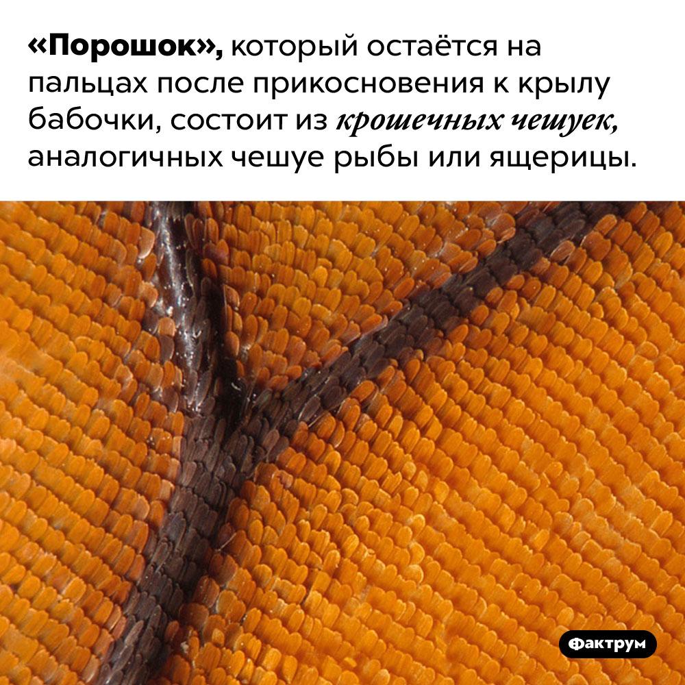 Крылья бабочек покрыты чешуёй. «Порошок», который остаётся на пальцах после прикосновения к крылу бабочки, состоит из крошечных чешуек, аналогичных чешуе рыбы или ящерицы.