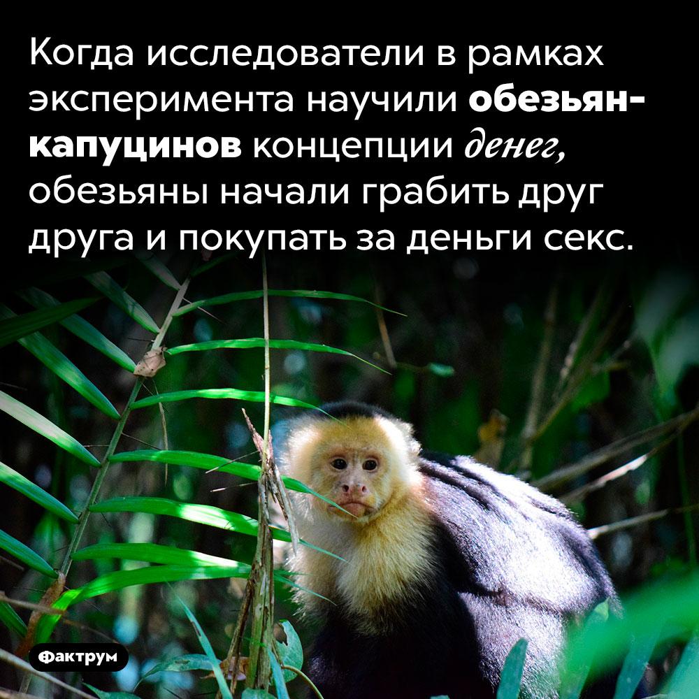Капуцины платят засекс. Когда исследователи в рамках эксперимента научили обезьян-капуцинов концепции денег, обезьяны начали грабить друг друга и покупать за деньги секс.