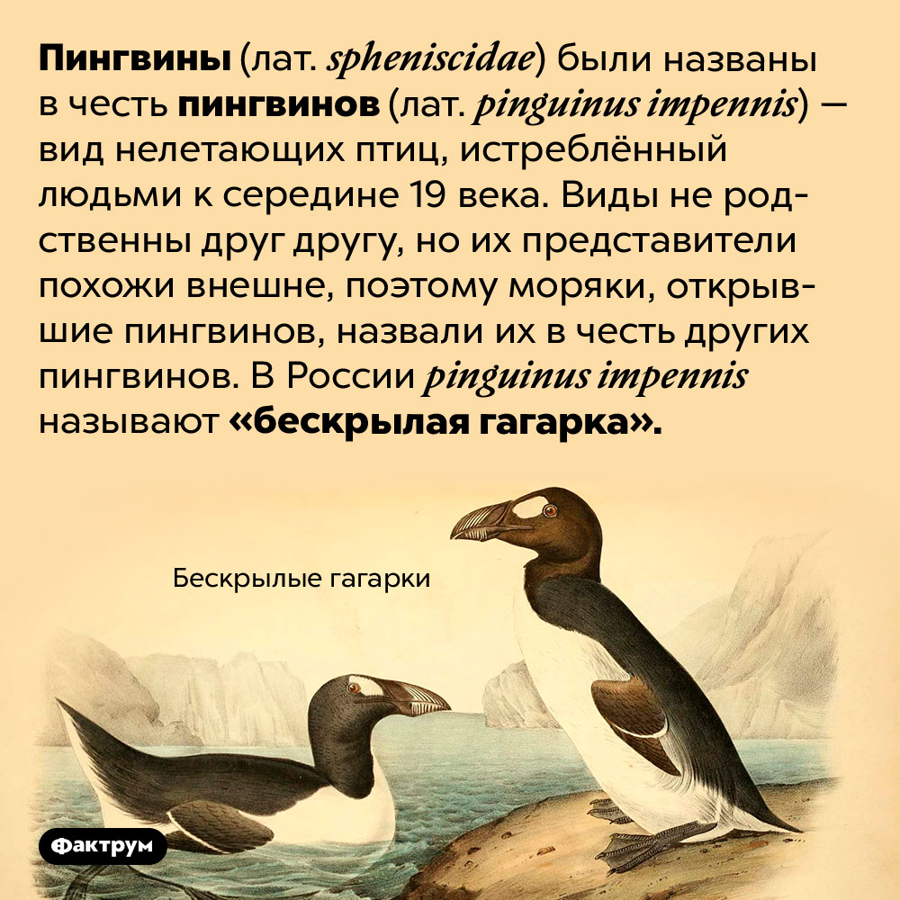 Пингвинов назвали вчесть других пингвинов. Пингвины (лат. <em>spheniscidae</em>) были названы в честь пингвинов (лат. <em>pinguinus impennis</em>) — вид нелетающих птиц, истреблённый людьми к середине 19 века. Виды не родственны друг другу, но их представители похожи внешне, поэтому моряки, открывшие пингвинов, назвали их в честь других пингвинов. В России <em>pinguinus impennis</em> называют «бескрылая гагарка».