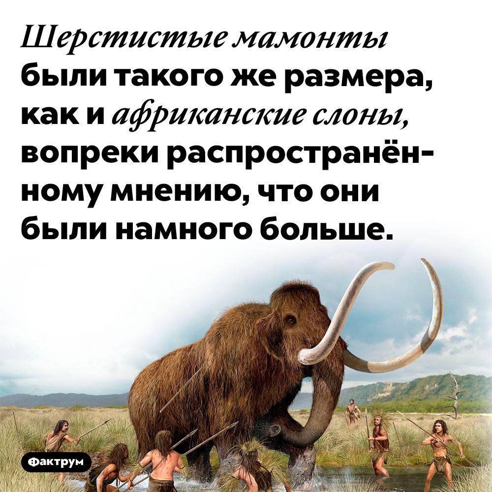 Шерстистые мамонты были небольше африканских слонов. Шерстистые мамонты были такого же размера, как и африканские слоны, вопреки распространённому мнению, что они были намного больше.