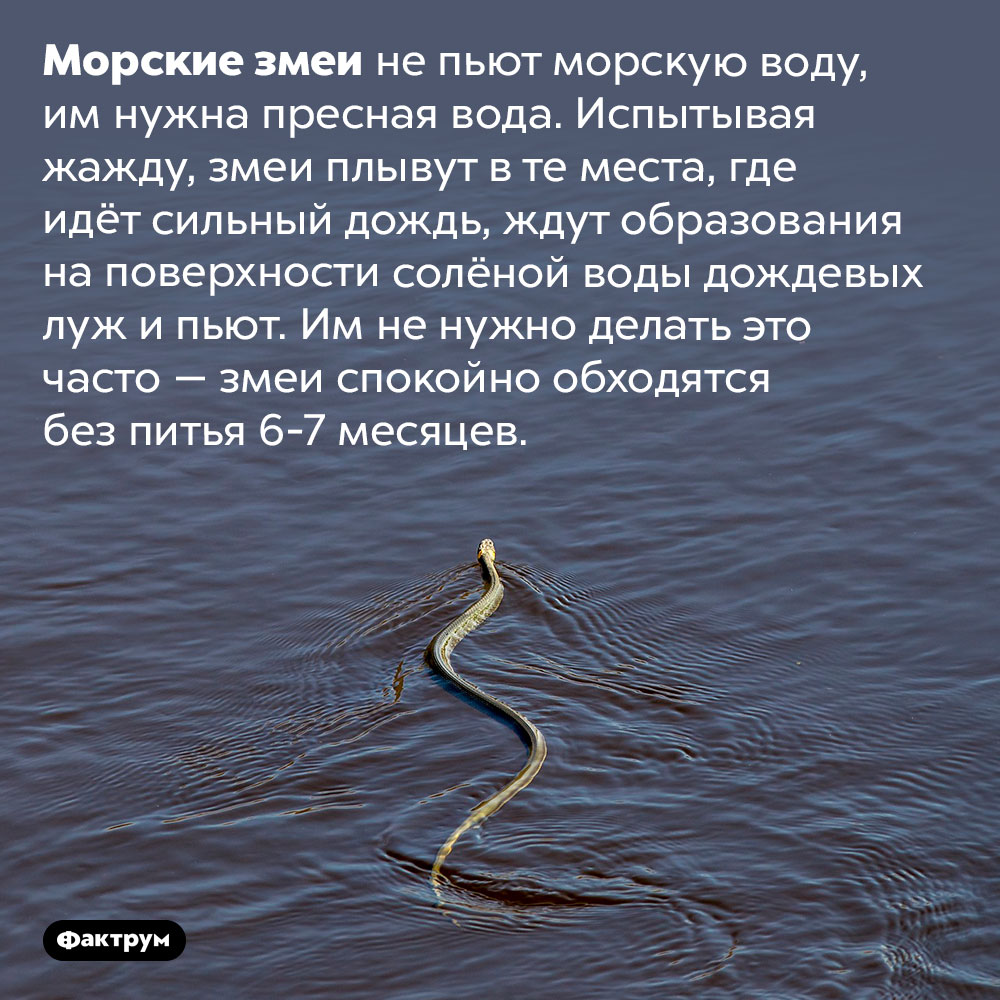 Как пьют морские змеи. Морские змеи не пьют морскую воду, им нужна пресная вода. Испытывая жажду, змеи плывут в те места, где идёт сильный дождь, ждут образования на поверхности солёной воды дождевых луж и пьют. Им не нужно делать это часто — змеи спокойно обходятся без питья 6-7 месяцев.