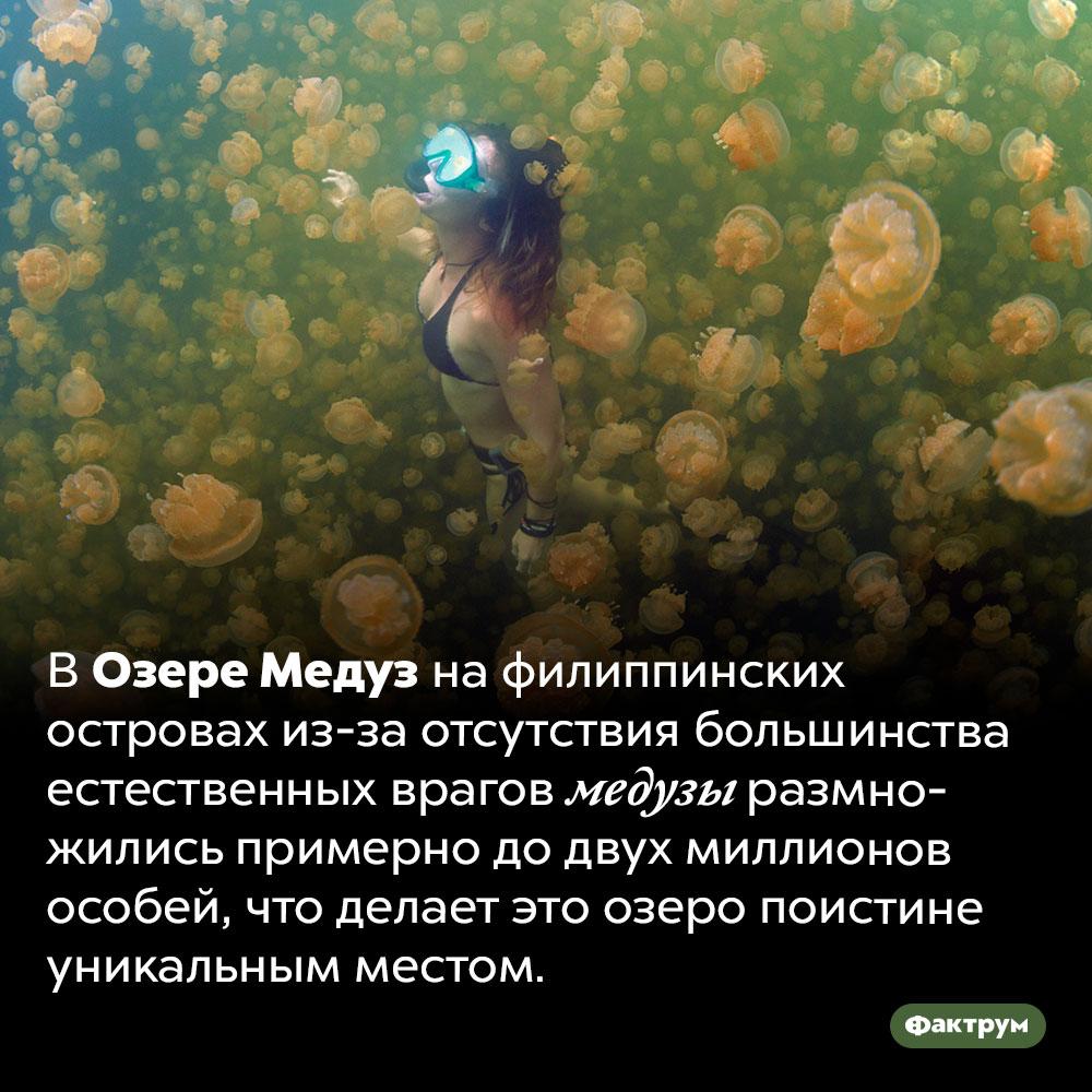 Удивительное Озеро Медуз. В Озере Медуз на филиппинских островах из-за отсутствия большинства естественных врагов медузы размножились примерно до двух миллионов особей, что делает это озеро поистине уникальным местом.